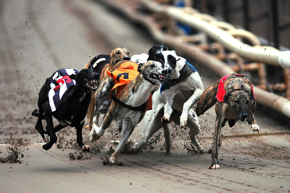 A pack of greyhound dogs racing